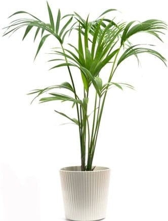 Kentia palm in the office
