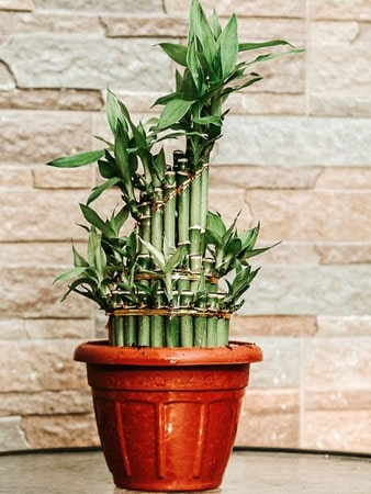 Lucky bamboo offic eplant