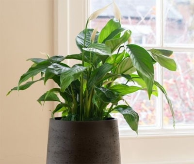 The Peace Lily plant which is great for offices and desks