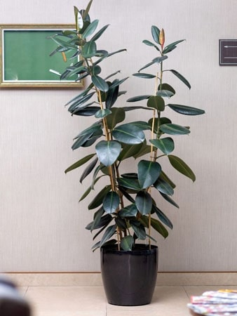 Rubber plant that is ideal for an office setting