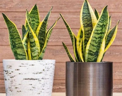 Snake plant that is great for offices